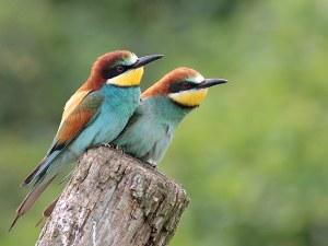 source image : http://francois.ribeaudeau.org/blog/public/oiseaux/2guepiers.jpg