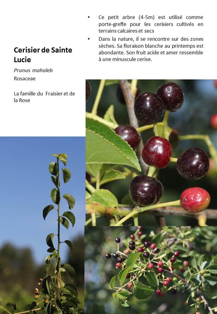 Cerisier_Ste_Lucie