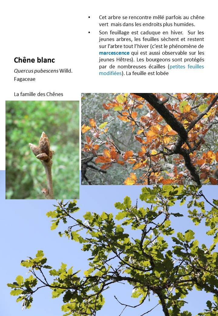 Chene_Blanc