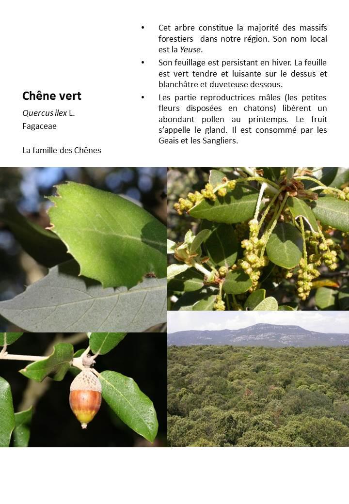 Chene_Vert
