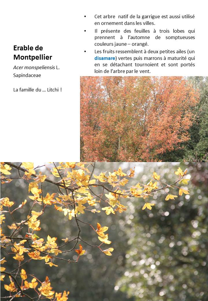 Erable_Montpellier