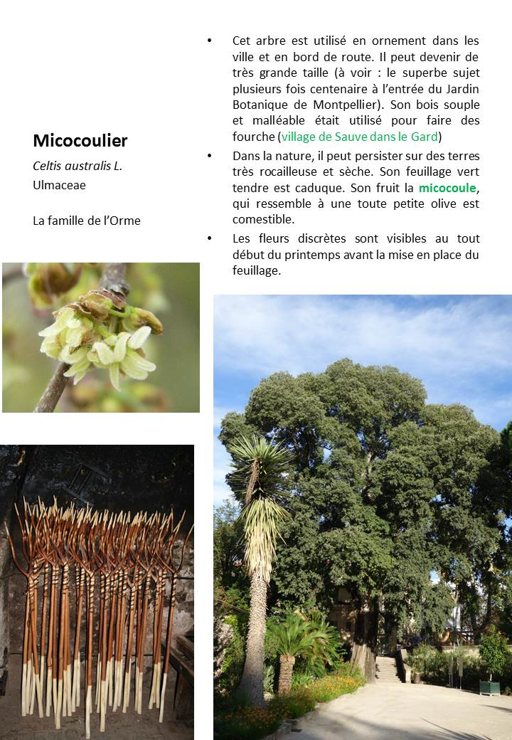 Micocoulier