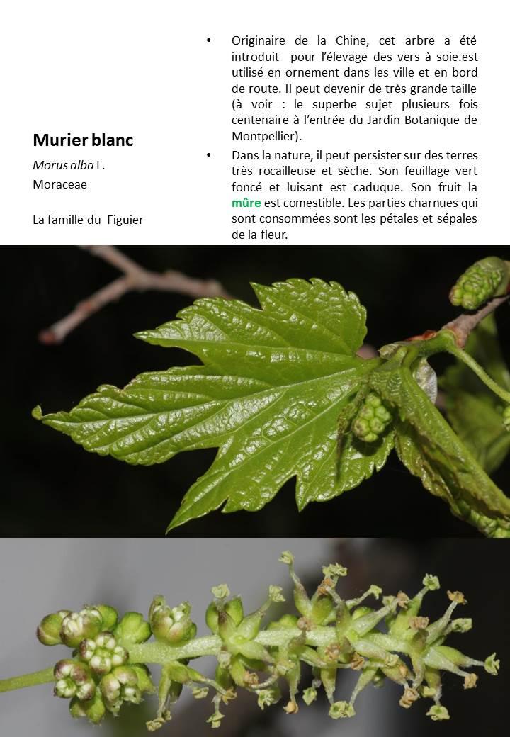 Murier_Blanc