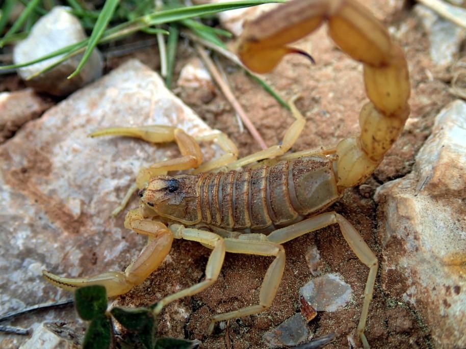 scorpion-languedocien-buthus-occitanus-arachnide-buthidae-16