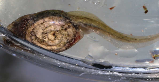 Tétard Pelodyte (les intestins en spirale)
