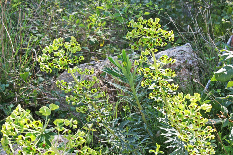 2-Euphorbe-characias-ou-Grande-Euphorbe