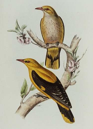 Loriot d'Europe Oriolus oriolus Eurasian Golden Oriole